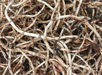 鱼腥草有何价值 溪边的这种草吃了竟能养生