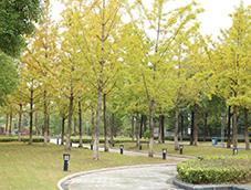 金黄灿灿的银杏树林