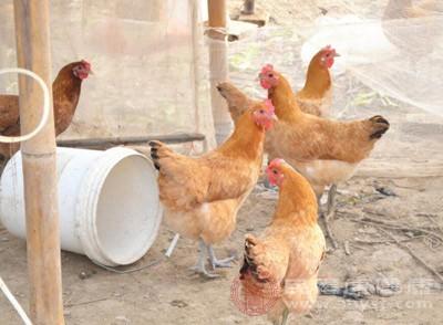 坐月子吃公鸡好还是母鸡好