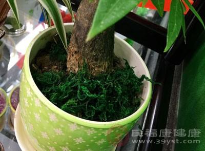 除非盆栽植物根生满盆无地伸展,否则不需要换盆