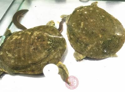 台北市抽验水产品甲鱼与黄鱼验出动物用药