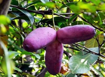 有的人第一眼看到这种果子,都有种眼花的感觉