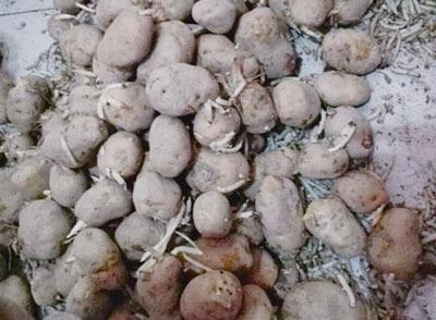 新疆昌吉冠南幼儿园给孩子吃发芽土豆