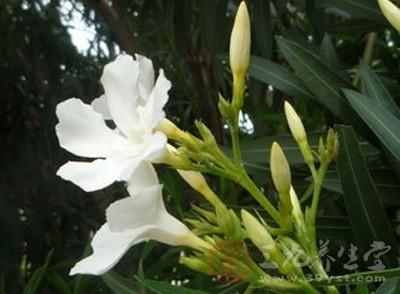 五月正是夹竹桃花盛开的季节