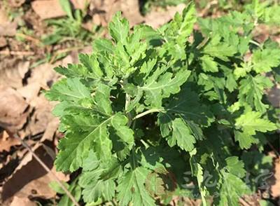 多年生草本或略成半灌木状,植株有浓烈香气
