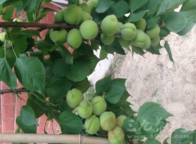 杏子的功效与作用 孕妇能不能吃杏子