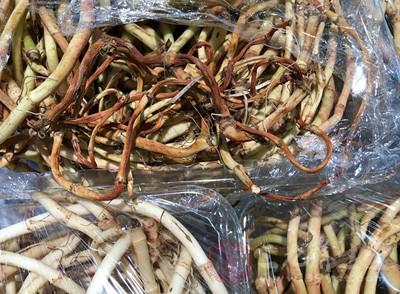 什么是鱼腥草 鱼腥草的功效与作用