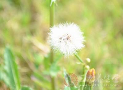 在春季的田野中,我们经常会看到蒲公英
