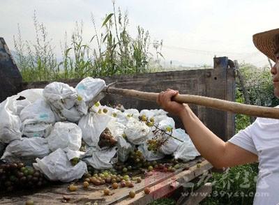 果农滥用催熟药剂 两万斤催熟葡萄被入园销毁