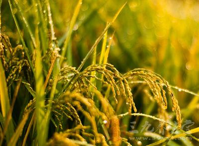 湖南绿色防控技术有望搞定水稻害虫