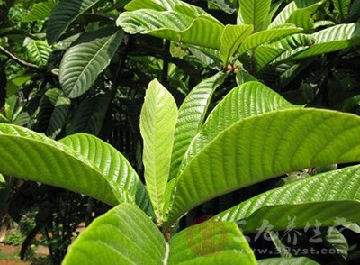 枇杷叶是我们大家所熟知的中草药,由于它的气味清香,并且还略带有微苦的味道