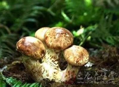 松茸被称为是一种纯天然的名贵中药材