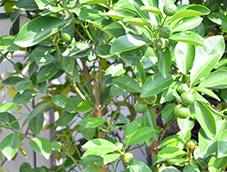 健康绿色的植物金桔树