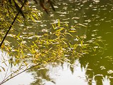 水边的青葱竹林