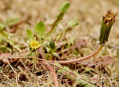 蒲公英花怎样吃祛斑 蒲公英花的食用方法有哪些