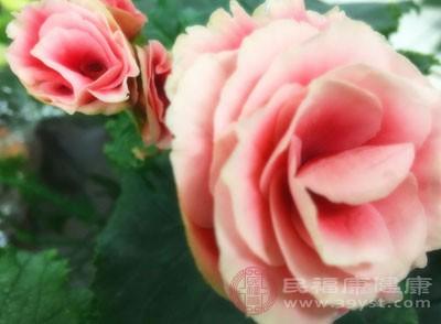 有些花会释放出对人体有害的物质,不宜放在家中