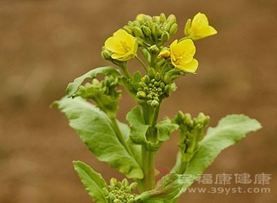 油菜花粉的功效 你知道油菜花粉的副作用吗