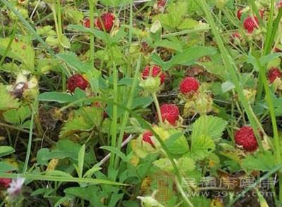 野草莓可以泡茶喝