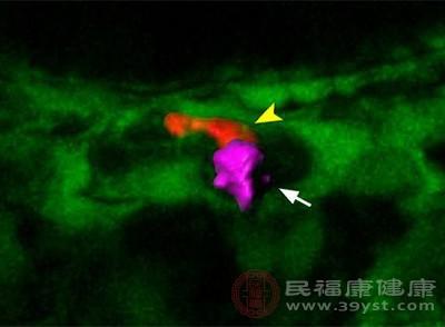 先导细胞引导造血干细胞归巢进入血管微环境