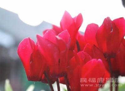 番红花和藏红花图片图片