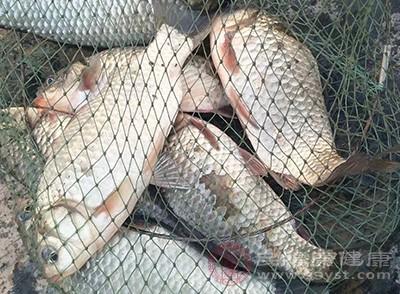 鯉魚的蛋白質作為營養補充到血液當中後,可以提高血漿膠體的滲透壓